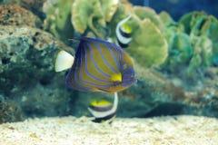 Bluering angel fish Stock Photos