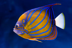 Bluering angelfish Stock Photos