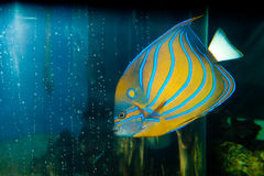 Bluering Angelfish in Aquarium Royalty Free Stock Images