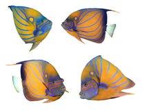 Bluering Angelfish Royalty Free Stock Image