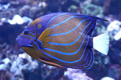 Bluering Angelfish (Pomacanthus annularis). Bluering angelfish Swimming in its natural habitat stock photography