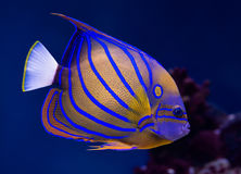 Bluering angelfish Royalty Free Stock Photo