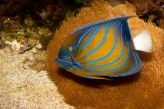 Bluering havsängel i akvarium Arkivbilder