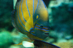 Blueringed angelfish Pomacanthus annularis. Swims over a coral reef stock images