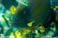 Blueringed angelfish Pomacanthus annularis. Swims over a coral reef royalty free stock photos