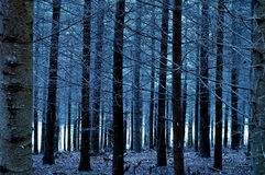 Blues Forest Stock Images