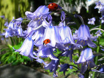 Blues and Red. Blue bells and a lady bug share a moment Royalty Free Stock Image