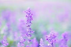 Bluesalvia (цветки лаванды) стоковое фото rf