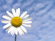 Bluesky daisy. Daisy on a bluesky background royalty free stock photo