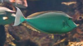 Bluespine jednorożec ryba w zbliżeniu, popularny akwarium zwierzę domowe, tropikalny rybi specie od Pacyfik oceanu zbiory wideo