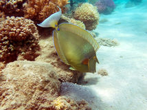 Bluespine unicorn fish. Bluespine unicorn-fish at the Red Sea coral reef Royalty Free Stock Photos