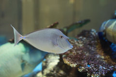 Bluespine Unicornfish Stock Photography