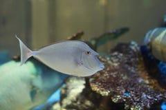 Bluespine Unicornfish Fotografia de Stock