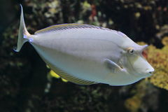 Bluespine unicornfish Royalty Free Stock Photos