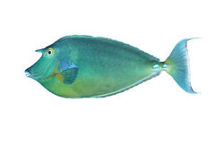 Bluespine unicornfish 库存图片
