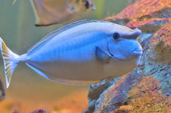 Bluespine unicornfish 库存照片