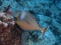 Bluespine unicornfish Royaltyfria Foton