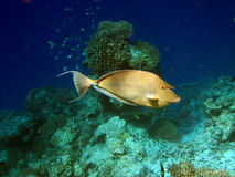 bluespine鱼unicornfish 免版税图库摄影