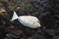 Bluespine unicornfish Royalty-vrije Stock Foto's