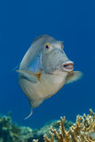 Bluespine unicornfish 免版税库存图片