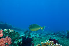 Bluespine unicornfish (Naso unicornis) Stock Photo