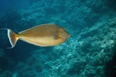 Bluespine unicornfish (naso unicornis) Stock Photography