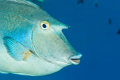 Bluespine unicornfish Royalty Free Stock Photo