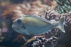 Bluespine unicornfish (Naso unicornis). Stock Image