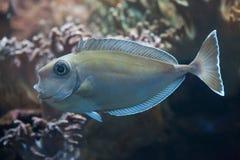 Bluespine unicornfish (Naso unicornis). Royalty Free Stock Photo