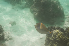 Bluespine unicornfish (Naso unicornis) Stock Images