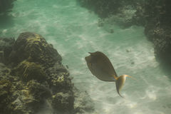 Bluespine unicornfish (Naso unicornis) Royalty Free Stock Image