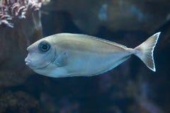 Bluespine unicornfish & x28; Naso unicornis& x29; Royaltyfri Fotografi