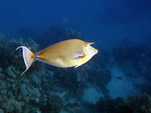 Bluespine Unicornfish in red sea Stock Image