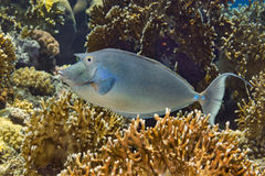 Bluespine unicornfish swimming over fire coral Stock Image