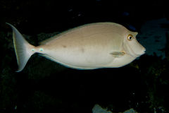 Bluespine Unicornfish, Unicorn Tang Stock Photos