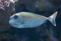 Bluespine unicornfish (Naso unicornis). Royalty Free Stock Photography