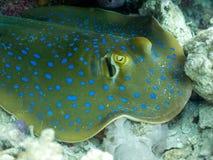 Bluespotted黄貂鱼,丝带尾巴光芒 免版税库存图片