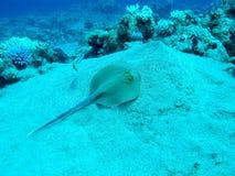 Bluespotted光芒(Taeniura lymma)在热带海,水下 免版税图库摄影