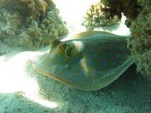 Bluespotted在热带海水中的ribbontail光芒 免版税库存图片