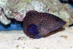 Bluespotted珊瑚石斑鱼(Cephalopholis阿格斯) 库存图片