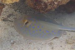 Bluespotted黄貂鱼在红海 免版税图库摄影