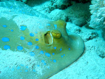 Bluespotted黄貂鱼(Taeniura lymma)在热带海底部  免版税图库摄影