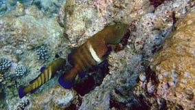 Bluespotted grouper, Athuruga, Maldives royalty free stock photography