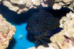 Bluespotted korallhavsaborre (Cephalopholis argus) Arkivfoton