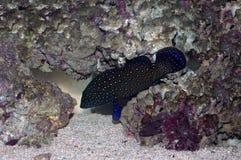 Bluespotted korallhavsaborre (Cephalopholis argus) Arkivfoto
