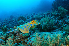 Bluespotted ray stock images