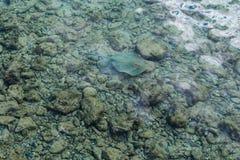 Bluespotted ribbontail在红海发出光线Taeniura lymma 库存照片