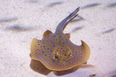 Bluespotted ribbontail ray Stock Image