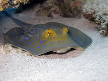 Bluespotted ribbontail ray Royalty Free Stock Photo