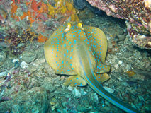 Bluespotted ribbontail ray Royalty Free Stock Photos
